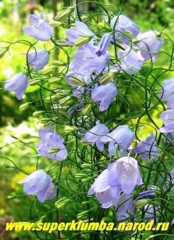 КОЛОКОЛЬЧИК КРУГЛОЛИСТНЫЙ (Campanula rotundifolia ) цветы крупным планом . Цветки собраны в раскидистое метельчатое соцвет. Цветет все лето -с конца мая по сентябрь!!! ЦЕНА 200 руб. (1 дел)