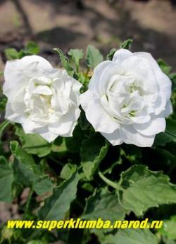 КОЛОКОЛЬЧИК КАРПАТСКИЙ МАХРОВЫЙ БЕЛЫЙ (Campanula carpatica flore plena alba) цветы крупным планом. НОВИНКА! НЕТ В ПРОДАЖЕ