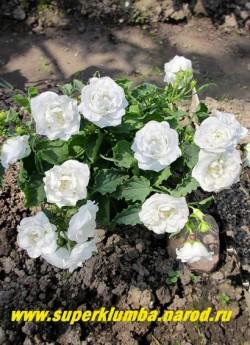 КОЛОКОЛЬЧИК КАРПАТСКИЙ МАХРОВЫЙ БЕЛЫЙ (Campanula carpatica flore plena alba) Белые махровые цветы диаметром 3,5-4см . Низкий кустик до 15 см в высоту. Цветет с июня 60-70 дней, НОВИНКА! НЕТ В ПРОДАЖЕ