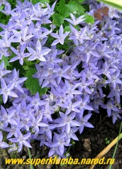 КОЛОКОЛЬЧИК ГАРГАНСКИЙ (Campanula garganica) цветы крупным планом.  НЕТ В ПРОДАЖЕ