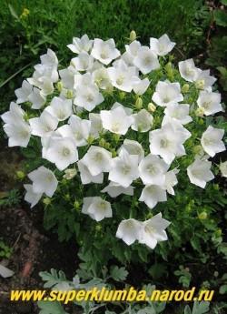 КОЛОКОЛЬЧИК КАРПАТСКИЙ МИНИ БЕЛЫЙ (Campanula carpatica »Alba»)  Белоснежные колокольчики диаметром 3,5-4см. Низкий кустик до 20 см в высоту , Цветет с июня 60-70 дней, высота 12-15 см, ЦЕНА 300 руб ( 1дел) НЕТ НА ВЕСНУ