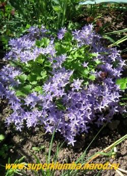 КОЛОКОЛЬЧИК ГАРГАНСКИЙ (Campanula garganica) низкорослый аккуратный колокольчик высотой до 15см обильно цветущий в июле синими звездчатыми цветами диаметром 3см. НЕТ В ПРОДАЖЕ