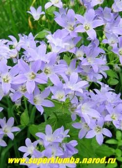 КОЛОКОЛЬЧИК МОЛОЧНОЦВЕТКОВЫЙ «ЦЕРУЛЕА» (Campanula lactiflora «caerulea») цветы крупным планом. ЦЕНА 200 руб (1 шт)