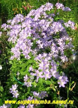 КОЛОКОЛЬЧИК МОЛОЧНОЦВЕТКОВЫЙ «ЦЕРУЛЕА» (Campanula lactiflora «caerulea») ЦЕНА 200 руб (1 шт)