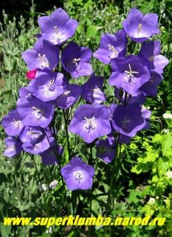 КОЛОКОЛЬЧИК ПЕРСИКОЛИСТНЫЙ СИНИЙ «Нью джиант гибридс» (Campanula persicifolia «New Giant Hybrids») крупноцветковый синий колокольчик, цветет июнь-июль, срезочный, высота 60-80см, ЦЕНА 200 руб (1 дел) НЕТ НА ВЕСНУ