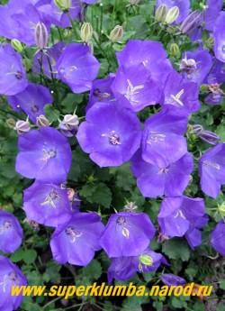 КОЛОКОЛЬЧИК КАРПАТСКИЙ МИНИ ФИОЛЕТОВЫЙ (Campanula carpatica)  фиолетовые колокольчики диаметром 4-5см. Низкий кустик до 15 см в высоту , Цветет с июня 60-70 дней, высота 12-15 см, ЦЕНА 300 руб (1 дел) НЕТ НА ВЕСНУ