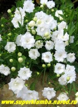"""КОЛОКОЛЬЧИК ЛОЖЕЧНИЦЕЛИСТНЫЙ махровый """"АЛЬБА"""" (Campanula cochlearifolia) миниатюрный цветет с июня по август, разрастаясь образует коврик высотой 5-10 см, Эффектен в альпинарии.  НЕТ В ПРОДАЖЕ"""