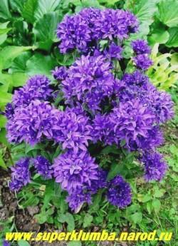 """КОЛОКОЛЬЧИК СКУЧЕННЫЙ """"Суперба"""" (Campanula glomerata f. superba) Эффектный колокольчик  с  темно-фиолетовыми, до 2 см в диаметре цветами, собранными в плотное шаровидное  головчатое   соцветие.  Цветет в июне-июле 30-35 дней, высота 40-60 см.   ЦЕНА 250 руб (1 дел.)"""