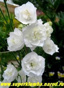 КОЛОКОЛЬЧИК ПЕРСИКОЛИСТНЫЙ МАХРОВЫЙ «СНОУ УАЙТ» (Campanula persicifolia «Snow White») крупные густомахровые белоснежные цветы в высоких соцветиях. цветет июнь-июль, высота с цветоносами 50-60 см, ЦЕНА 300 руб (1 дел) НЕТ НА ВЕСНУ