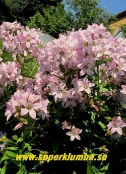 КОЛОКОЛЬЧИК МОЛОЧНОЦВЕТКОВЫЙ «Лоддон Анна» (Campanula lactiflora «Loddon Anna') Цветы нежно розовые в высоких густых соцветиях . Предпочитает солнечное место. НОВИНКА! ЦЕНА 300 руб.