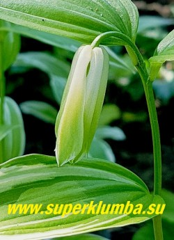 """ДИСПОРУМ СИДЯЧИЙ """"Вариегатум"""" (Disporum sessile """"Variegatum"""") Цветок  крупным планом.  Цветы белые колокольчатые с зелеными кончиками,  3-4 см в длину, по 1-3 в соцветии, нечто среднее  между цветами купены и увулярии. НОВИНКА! ЦЕНА 300 руб (шт)"""