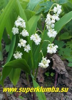 """ЛАНДЫШ МАЙСКИЙ """"Пролификанс"""" (Convallaria majalis """"Рrolificans"""") очаровательный сорт с крупными махровыми цветками до 1,5 см в диаметре . Высота до 20 см, цветет с мая по июнь, очень ароматные цветы, ЦЕНА 300 руб ( 2 шт)"""