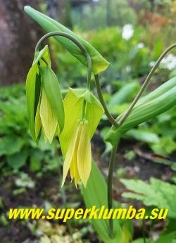 УВУЛЯРИЯ ПРОНЗЕННОЛИСТНАЯ (Uvularia perfoliata) Образует заросль из изящных тонких стеблей с  овальными листьями, охватывающими стебель. Цветки кремово-желтые, узкие, колокольчатой формы, душистые. Изысканное растение до 30 см высотой.  Цветет с середины весны до начала лета.  НОВИНКА!   ЦЕНА 300 руб. (делёнка)