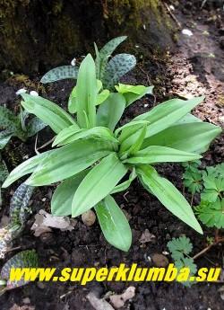 """ПАЛЬЧАТОКОРЕННИК ФУКСА   """"Вариация с однотонными листьями"""" (Dactylorhiza fuchsii)  более редкая     разновидность  со  светло-зелеными кожистыми листьями   и  более темными, чем у предыдущей  """"пятнистой""""  вариации  цветы.   НОВИНКА!  ЦЕНА 300 руб (1шт)"""