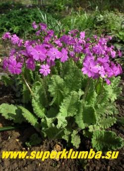 Примула КОРТУЗОВИДНАЯ (Рrimula cortusoides) нежная  и изящная  неприхотливая видовая примула обильно цветущая  сиренево-розовыми цветами, высота до 25 см, цветет май-июнь, после цветения листва постепенно исчезает до весны. ЦЕНА 200 руб (деленка)