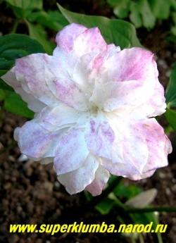 """ТРИЛЛИУМ КРУПНОЦВЕТКОВЫЙ """"Snoebunting"""" (Trillium grandiflorum """"Snoebunting"""") Цветок триллиума в процессе цветения розовеет. Неприхотлив, морозоустойчив, но нарастает достаточно медленно. НОВИНКА! ЦЕНА 1500 руб (1 шт)"""