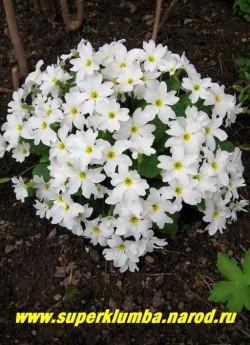 Примула Юлии «БЕЛАЯ ВАНДА» (Primula Juliae «White wanda») шаровидные кустики сплошь покрытые очень крупными белоснежными цветами звездчатой формы, высота до 10 см, цветет апрель-май, ЦЕНА 200 руб (штука)