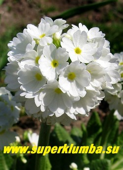 """Примула мелкозубчатая """"БЕЛАЯ КРУПНОЦВЕТКОВАЯ"""" (Primula denticulata ''Alba'') белая крупноцветковая с ярко-желтой серединой, выс. до 20 см, цв. апрель-май, ЦЕНА 250 руб (штука)"""