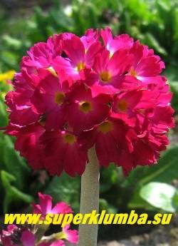 """Примула мелкозубчатая """"РУБИН"""" (Primula denticulata """"Rubin"""")  соцветие крупным планом.  НЕТ  В ПРОДАЖЕ"""