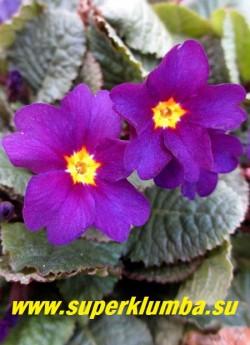 Примула пругоницкая «БЛУ РЕХАБ» (Рrimula pruhoniciana «Blue Rihaub») крупные сливово-фиолетовые цветы с ярким желтым глазом с тонкой  красной окантовкой и очень темная фиолетово-зеленая блестящая листва. Великолепный гибрид примулы Юлии. НОВИНКА! ЦЕНА 200 руб (штука)