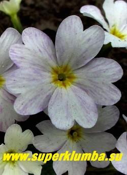 """Примула Юлии """"ЛЕТНИЙ ДОЖДЬ"""" цветок крупным планом в полной  окраске.  НОВИНКА! ЦЕНА 350 руб (штука)"""