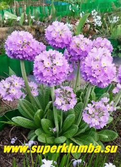 "Примула мелкозубчатая ""СИРЕНЕВАЯ"" (Primula denticulata) фото куста, ЦЕНА 130 руб (штука)"