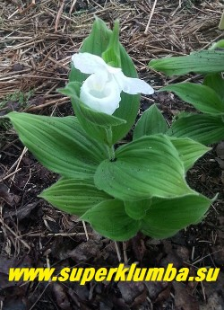 ЦИПРИПЕДИУМ/ БАШМАЧОК КОРОЛЕВЫ АЛЬБА(Cypripedium Reginае alba)  белоцветковая разновидность  с крупными до 8 см башмачками. Цветок чисто  белый   чаще одиночный,  реже  на одном побеге распускается  до 3-х цветков, листья широкие опушенные, высота растения от 25-50 см.  Время цветения   май-июнь.  Местоположение  рассеянный солнечный свет, защищенное от ветров  место, можно под деревьями. Почва  дренированная, рыхлая, воздухопроницаемая, приближенная к лесной, с нейтральной реакцией, влажная.  НОВИНКА! НЕТ В ПРОДАЖЕ