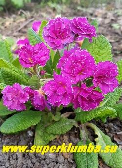Примула бесстебельная  махровая   МАРК  ВИЙЕТ  (Primula vulgaris  Mark Viеtte) махровые малиново-розовые  c  белой изморосью по краю лепестков  цветы. НОВИНКА!  ЦЕНА 350 руб (делёнка) НЕТ НА ВЕСНУ