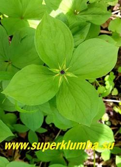 ПАРИС ЧЕТЫРЕХЛИСТНЫЙ/ВОРОНИЙ ГЛАЗ (Paris quadrifolia) Цветок неприметный, звездообразный, с длинными узкими желтыми лепестками, осенью в центре мутовки созревает крупная синяя ягода. НОВИНКА! ЦЕНА 250руб