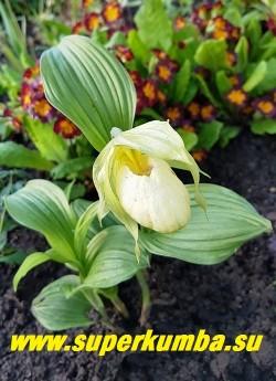 ЦИПРИПЕДИУМ ЛЕДИ ДОРИН (Cypripedium Lady Dorine) В начале роспуска  в цвете преобладае сливочно-желтый оттенок, который постепенно светлеет до  сливочно-белого.    Время цветения - май-июнь.    НОВИНКА!  НЕТ В ПРОДАЖЕ.
