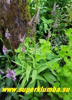 """ПАЛЬЧАТОКОРЕННИК ФУКСА   """"Вариация с однотонными листьями"""" (Dactylorhiza fuchsii)  зацветающий куст в моем саду.  Эта вариация разрастается быстрее разновидности с пятнистыми  листьями.  НОВИНКА!  ЦЕНА 300 руб (1шт)"""