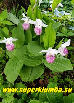 ЦИПРИПЕДИУМ /БАШМАЧОК  КОРОЛЕВЫ (Cypripedium Reginае) Зимующая орхидея с  крупными до 8 см башмачками. Цветок эффектный  белый с малиново-розовой вздутой губой с розово-пурпурными полосками внутри, чаще одиночный,  на побеге взрослых растений  иногда распускается  до 3-х цветков, листья широкие опушенные, высота растения от 25-60 см.  Время цветения   май-июнь.    НОВИНКА! ЦЕНА 2000-3000р (1-2 цветущих побега) Деленки от своего взрослого цветущего куста.