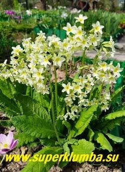 ПРИМУЛА ПАЛЛАСА (Рrimula pallasii) Высота до 30 см. Цветет с конца апреля - начала мая 25-30 дней. ЦЕНА 250 руб (штука)