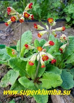 Примула весенняя КОРОНЕЙШН КОУСЛИПС (Primula veris Coronation Cowslips)  Знаменитый французский сорт примулы весенней с алыми слегка поникающими цветами собранными  в  зонтиковидные соцветия, на высоких  цветоносах. Цветение в мае.  Высота 10-20см.  Цветет с начала мая 25-30 дней. НОВИНКА!  ЦЕНА 250 руб (штука)