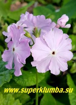 Примула Зибольда «НЕЖНО РОЗОВАЯ» (Рrimula sieboldii) Цветок крупным планом. НОВИНКА! ЦЕНА 450 руб (1 штука)