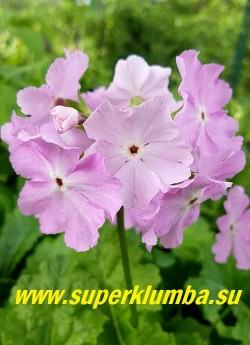 Примула Зибольда «НЕЖНО РОЗОВАЯ» (Рrimula sieboldii)  нежно-розовые цветы с  белым глазком в центре.  Цветок  крупный с перекрывающимися лепестками.  Высота 25-30 см. НОВИНКА! ЦЕНА 450 руб (1 штука)