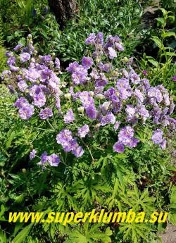 """ГЕРАНЬ ЛУГОВАЯ """"Саммер скайз"""" (Geranium  pratense """"Summer Skies"""") Кустик  в саду.  Куст прямостоячий. НОВИНКА! ЦЕНА 300 руб"""