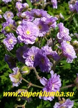 """ГЕРАНЬ ЛУГОВАЯ """"Саммер скайз"""" (Geranium  pratense """"Summer Skies"""") Аккуратный кустик с облаком  густо-махровых,  розово-лиловых с бело-жёлтым центром цветов, диаметром 3 см. Листья серовато-зелёные, глубоко изрезанные.  Высота 40-60см. НОВИНКА! ЦЕНА 300 руб"""
