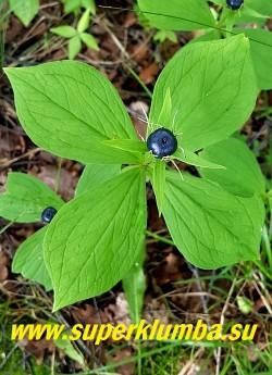 ПАРИС ЧЕТЫРЕХЛИСТНЫЙ/ВОРОНИЙ ГЛАЗ (Paris quadrifolia) Осенью в центре мутовки созревает крупная синяя ягода.  Ягода несъедобна!  НОВИНКА! ЦЕНА 250руб