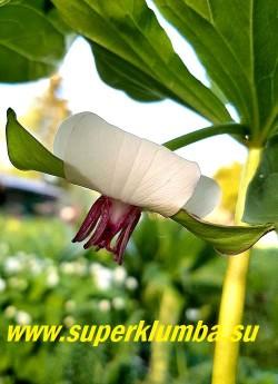 ТРИЛЛИУМ РУГЕЛЯ (Trillium rugelii) НОВИНКА! РЕДКИЙ! ЦЕНА 1000 руб