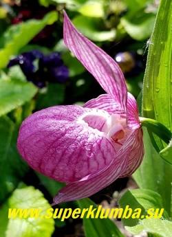 ЦИПРИПЕДИУМ КРУПНОЦВЕТКОВЫЙ/ БАШМАЧОК КРУПНОЦВЕТКОВЫЙ (Cypripedium macranthum)   Цветок крупным планом. НОВИНКА! НЕТ НА ВЕСНУ.