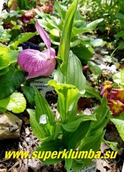 ЦИПРИПЕДИУМ КРУПНОЦВЕТКОВЫЙ/ БАШМАЧОК КРУПНОЦВЕТКОВЫЙ (Cypripedium macranthum) Башмачок с крупными лилово-розовыми одиночными цветами с крупными листообразными прицветниками, околоцветник лилово-розовый с более темными жилками.  Губа до 7 см длины, сильно вздутая в виде туфельки, с малозаметным мраморным рисунком. Высота до 40 см.  Цветет в июне-июле около 3х недель.  НОВИНКА! НЕТ НА ВЕСНУ.