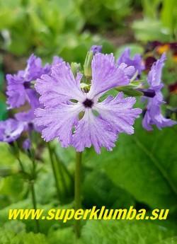 """Примула Зибольда «КУМОР» (Primula sieboldii Kumor) Лилово-голубые цветки """"снежинки"""" с перисторассеченными  краями лепестков .     Цветет май-июнь, после цветения листва постепенно исчезает до весны. НОВИНКА!  ЦЕНА 400 руб (1 штука)"""