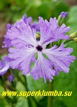 Примула Зибольда «КУМОР» (Primula sieboldii Kumor)  Цветок  крупным планом. ЦЕНА 400 руб (1 штука)