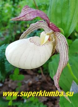 ЦИПРИПЕДИУМ /БАШМАЧОК КЕНТУККИЙСКИЙ  ПИНК БЛАШ (Cypripedium kentuckiense Pink blush)  цветы со вздутой  кремово- белой губой и  розовыми прилистниками. Цветок один, очень крупный до 16 см. Морозоустойчивый сорт.  НОВИНКА ! НЕТ В ПРОДАЖЕ.