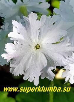 """Примула Зибольда «КВИН ОФ ВАЙТ» (Primula sieboldii """"Queen of White"""")  Цветок крупным планом.  Цветение эффектное, обильное и продолжительное.  НОВИНКА!  ЦЕНА 400  руб  (1 штука)"""