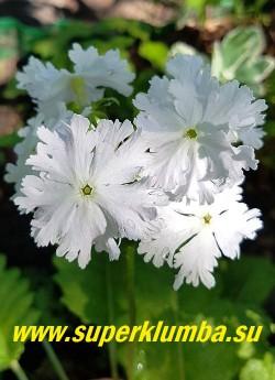 """Примула Зибольда «КВИН ОФ ВАЙТ» (Primula sieboldii """"Queen of White"""")  Цветки перистые,  рассечённые по краю, белые. Каждое цветок имеет свой, неповторимый """"узор"""" . Высота 20-30 см. НОВИНКА!  ЦЕНА 400  руб  (1 штука)"""