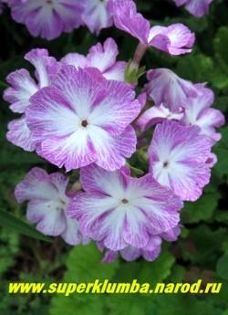 Примула Зибольда «СИРЕНЕВАЯ» (Рrimula sieboldii) Высокая примула с крупными диаметром 4 см светлосиреневыми цветами с белым центром, высота 20 см, хорошо стоит в срезке, цветет май-июнь, после цветения листва постепенно исчезает до весны, ЦЕНА 200 руб (2 штуки)