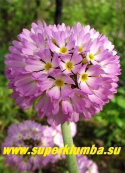 """Примула мелкозубчатая """"НЕЖНО-РОЗОВАЯ"""" (Primula denticulata) высота до 20 см, цветет апрель-май, НОВИНКА! ЦЕНА 280 руб (1 шт)"""