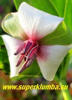 ТРИЛЛИУМ РУГЕЛЯ (Trillium rugelii) Цветок крупным планом. Цветы белые с розовым центром с отогнутыми назад лепестками. Цветоножка 1-3 см длиной, согнутая.  . Зацветает позднее других видов, в конце мая, и цветет до середины июня. НОВИНКА! ЦЕНА 1000 руб